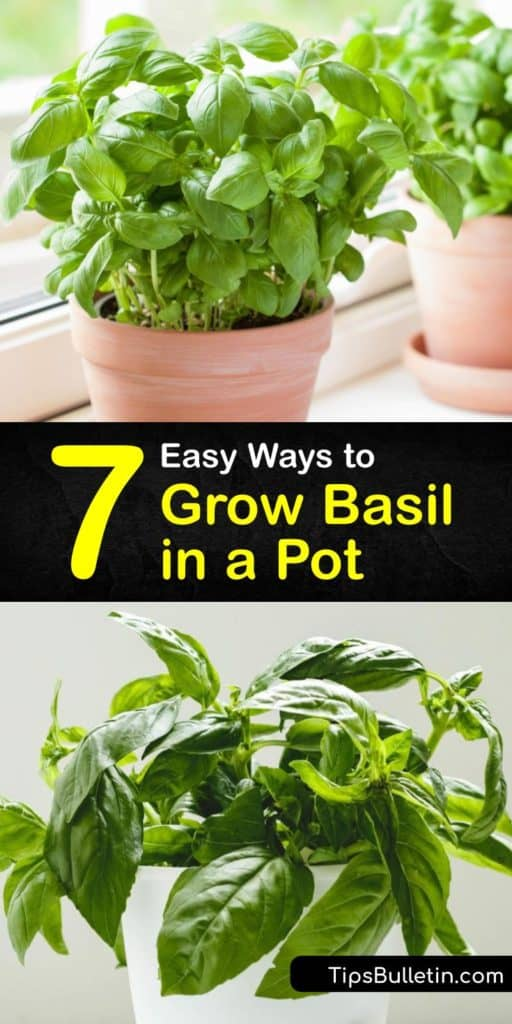 Experiment with growing Thai, Italian, and sweet basil leaves in the comfort of your home. All you need are grow lights, mulch, and the last frost date of spring to start growing basil and preserve them in ice cube trays with olive oil. #grow #basil #pot
