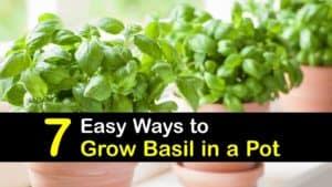 How to Grow Basil in a Pot titleimg1