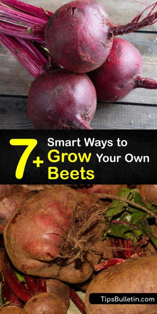 Discover great tips and tricks for growing Beta vulgaris in full sun. Enjoy harvesting beets at least twice each year, and don't forget to use Chioggia or Detroit dark red beet greens in salads and side dishes. #howto #grow #beets #gardening