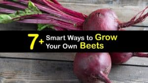 How to Grow Beets titleimg1