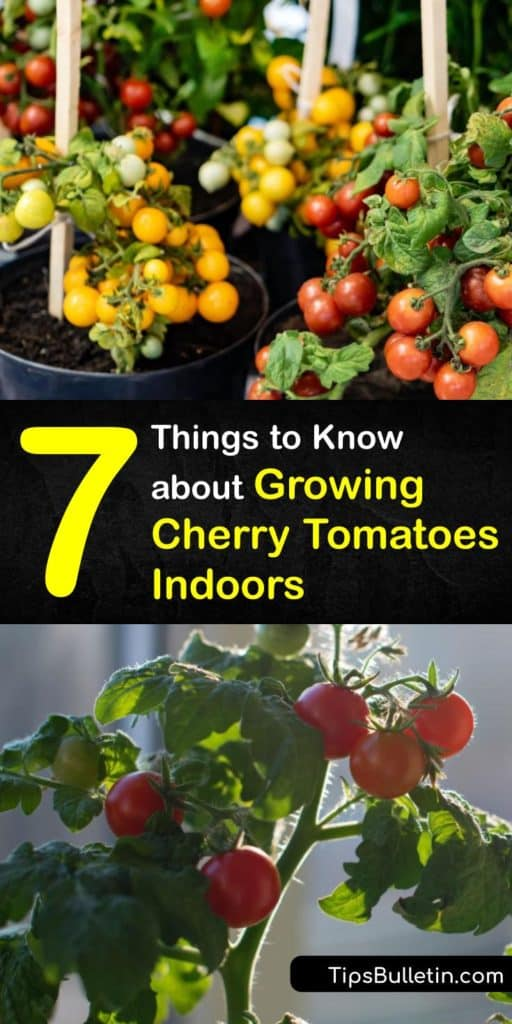 Find out the best ways to grow indoor tomatoes like houseplants. From germination to transplanting and pollination, we have everything you need to know for growing delicious cherry tomato varieties indoors. #howto #grow #cherry #tomatoes #indoors