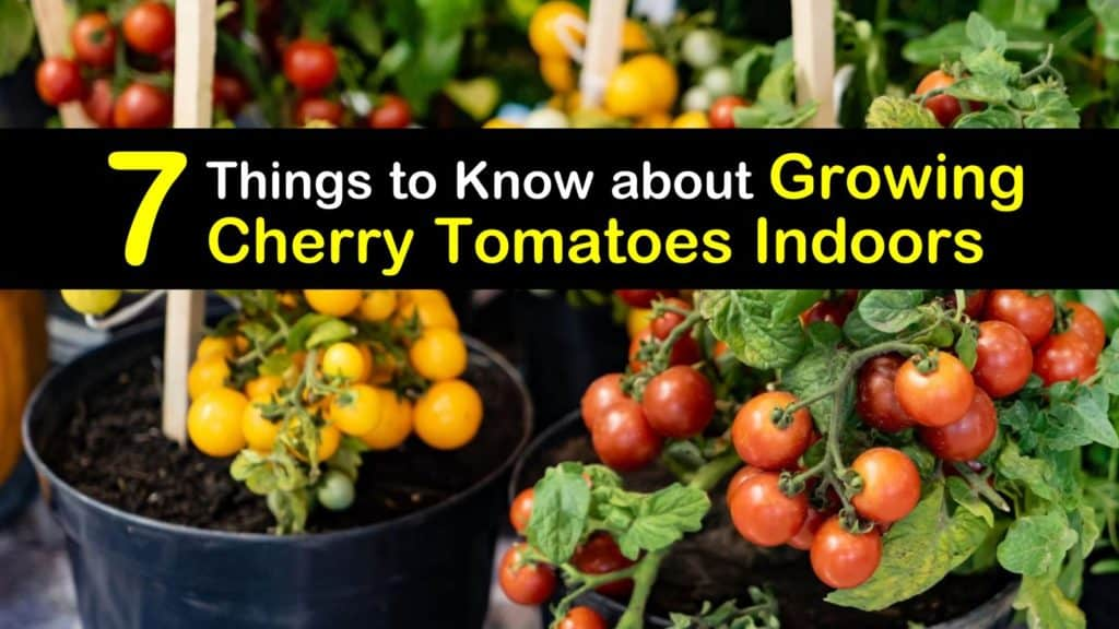How to Plant Cherry Tomatoes titleimg1