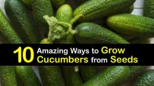 How to Grow Cucumbers from Seeds titleimg1