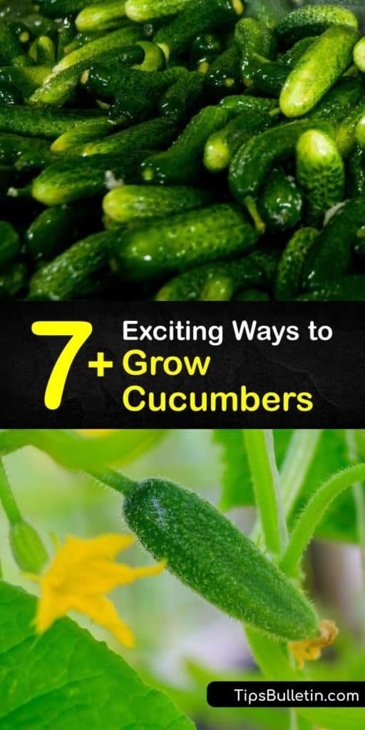 Find out which cucumber varieties are best for pickling or slicing, and learn the difference between vining and bush varieties. Cucumber plants are easy and fun to grow. Use companion planting to assist with pollination and repel pests like aphids. #howto #grow #cucumbers #gardening