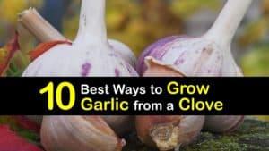How to Grow Garlic from a Clove titleimg1