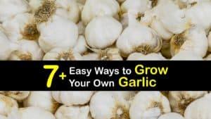 How to Grow Garlic titleimg1
