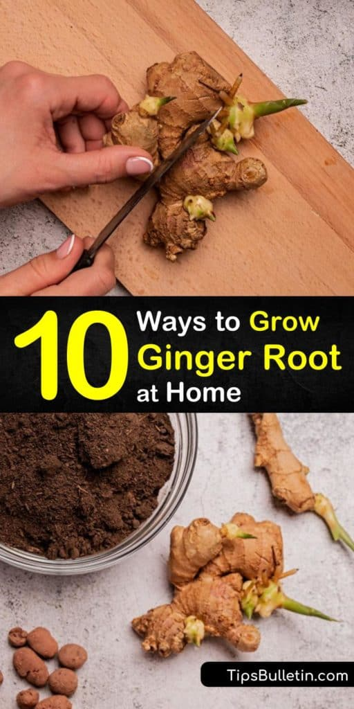 Learn how to replant Asian-native plant, ginger, or zingiber officinale. Use a rhizome from the grocery store and grow fresh ginger in a bed of rich potting soil. After the root starts sprouting, create delicious turmeric and fresh ginger tea. #howto #grow #ginger #root