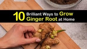 How to Grow Ginger Root titleimg1