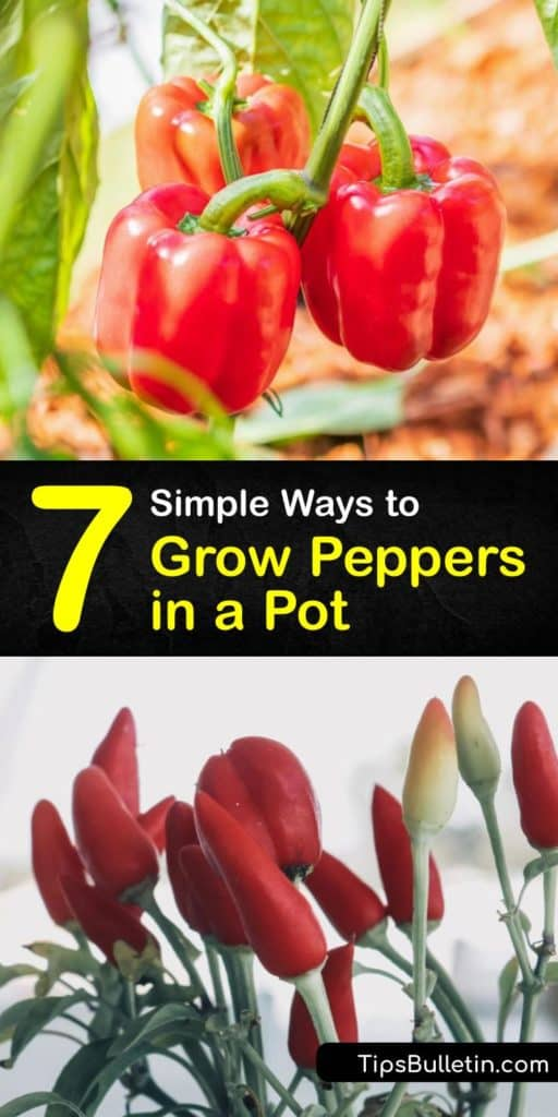 Find out how to grow jalapeño, habanero, and sweet peppers in a pot. Plant your pepper seeds in potting mix instead of garden soil and ensure they receive full sun. Before transplanting peppers outdoors, fertilize the plant for the best growth. #howto #grow #peppers #container