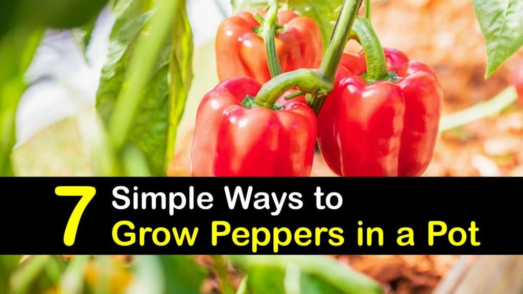 How to Grow Peppers in a Pot titleimg1