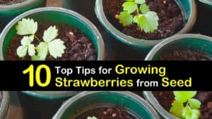 How to Grow Strawberries from Seeds titleimg1