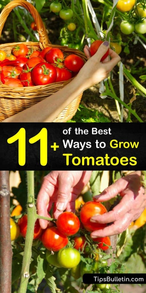 Discover how to grow tomatoes in a garden or patio to enjoy beefsteak or cherry tomatoes at the end of the growing season. Many indeterminate and determinate tomato varieties are easy to grow, but they all require full sun to thrive. #growing #tomatoes #howto
