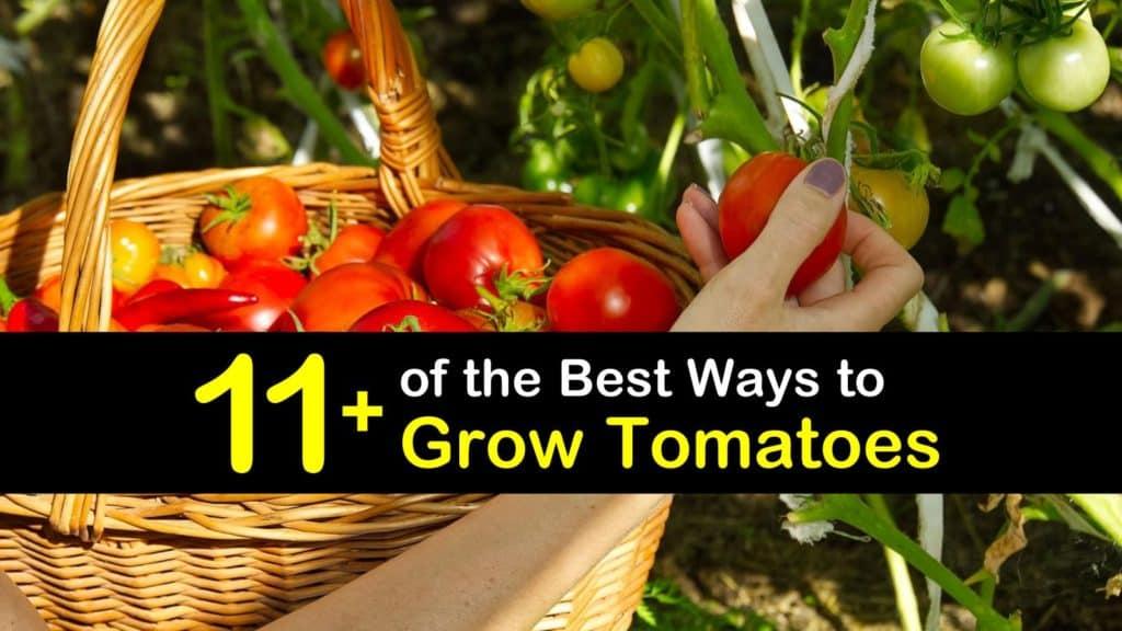 How to Grow Tomatoes titleimg1