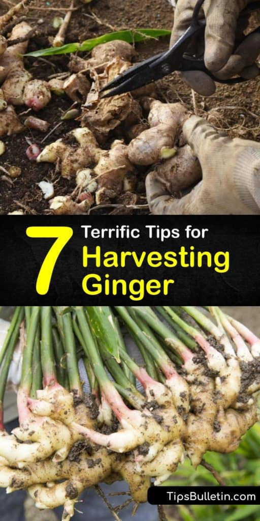 Grow your own baby ginger plant to produce fresh ginger or simply as a houseplant. Save money at the grocery store and uncover how growers harvest ginger. Spreading a thin layer of mulch around the entire plant helps speed up the time needed for sprouting. #howto #harvest #ginger