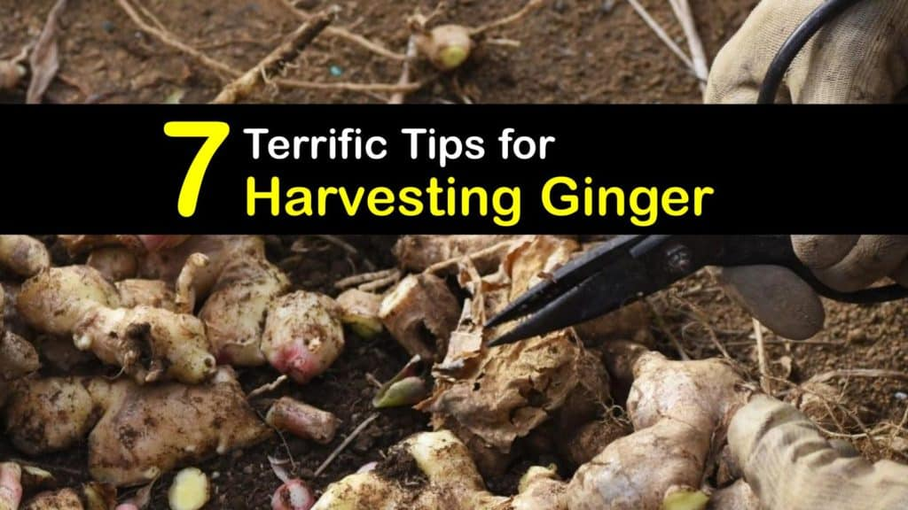 How to Harvest Ginger titleimg1