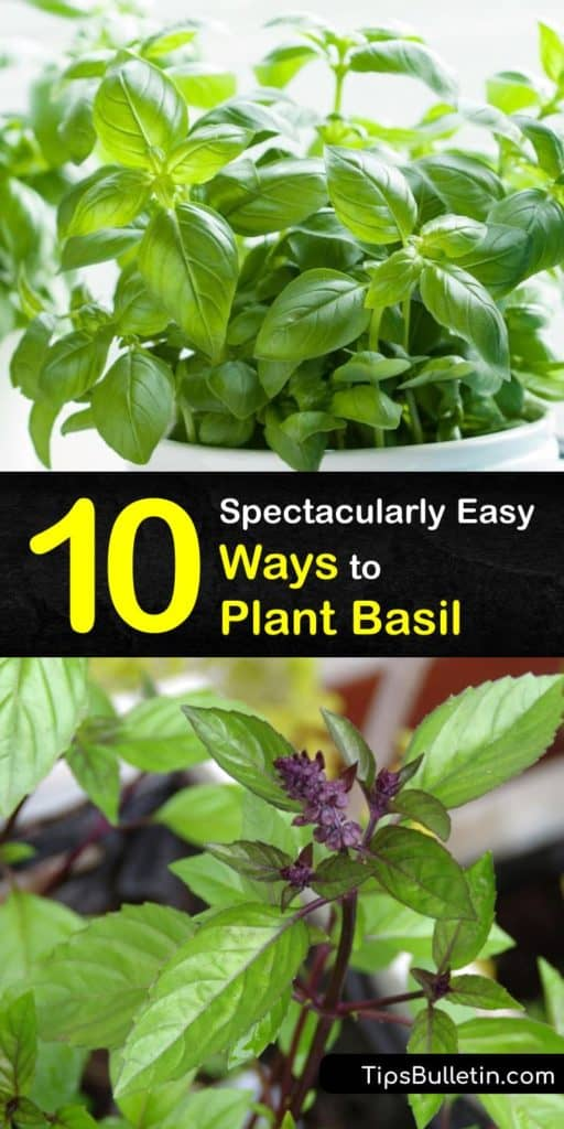 Learn how to grow your own Italian, Thai, or sweet basil at home to enjoy fresh basil in your favorite recipes. Plant basil seeds in potting mix, set your plants on a windowsill with full sun, and snip basil leaves fresh from the plant as needed. #howto #plant #basil
