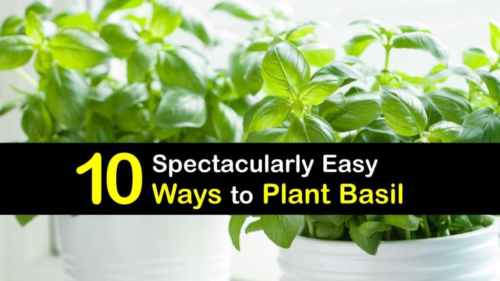 How to Plant Basil titleimg1