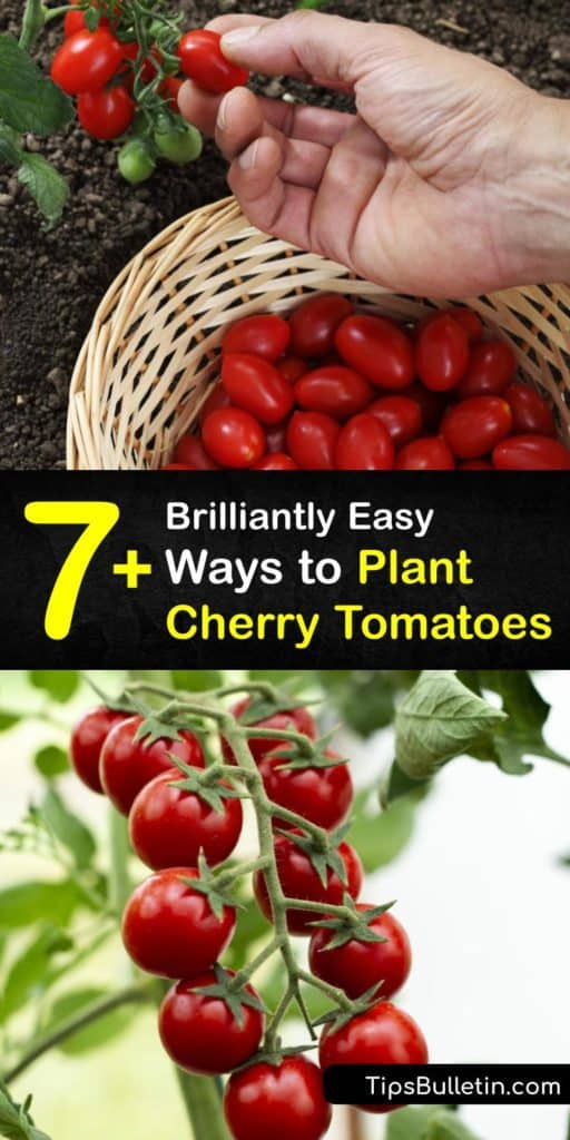 Learn planting and fertilizing techniques for Sungold and cherry tomato plants grown in your backyard. Grow-cherry-tomatoes with a tomato cage to support the vines. Fertilize your plant with a little mulch and make sure to prune your plant to prevent blossom end rot. #howto #plant #cherry #tomatoes