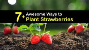 How to Plant Strawberries titleimg1