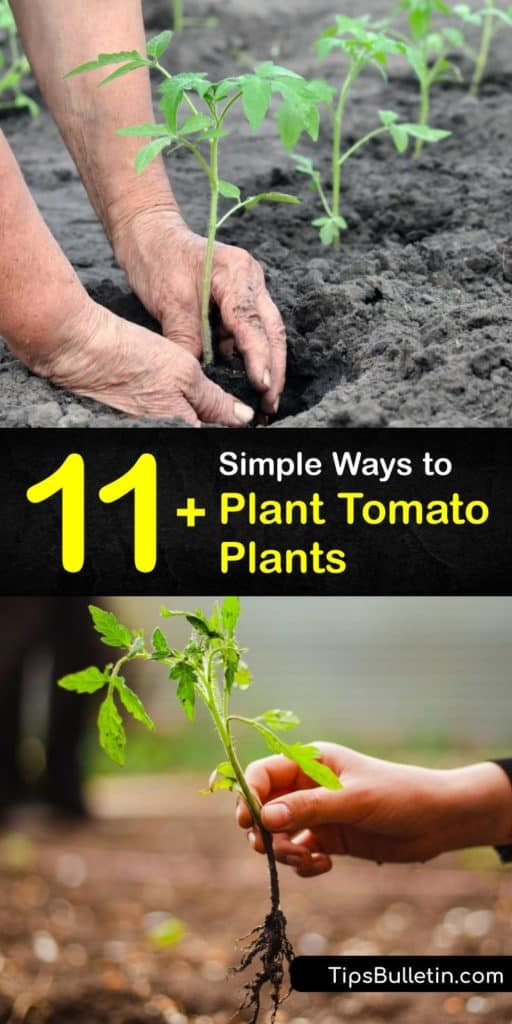 Make the most of your growing season after learning how to plant tomatoes the right way. Use this article to find out if your tomato seedlings have a determinate root system, what garden soil they prefer, if they like full sun and the steps for transplanting them safely. #howto #plant #tomatoes