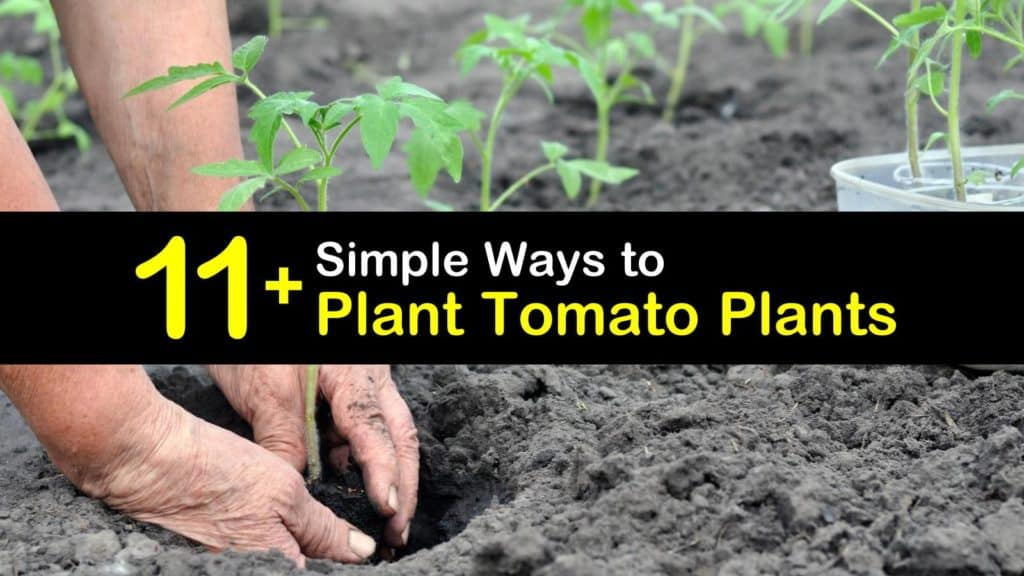 How to Plant Tomato Plants titleimg1