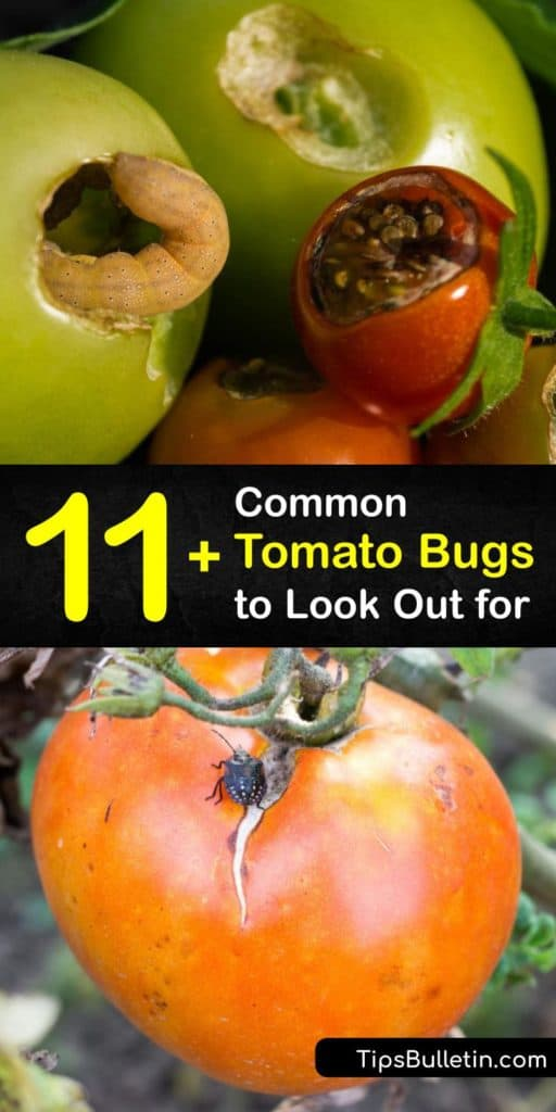 Protect your tomatoes from hornworms, whiteflies, cutworms, and other insect pests that feed on your veggies. Use this article to avoid insecticides and pesticides with chemicals and use natural remedies like mulch, marigolds, and herbs for an infestation. #tomato #bugs