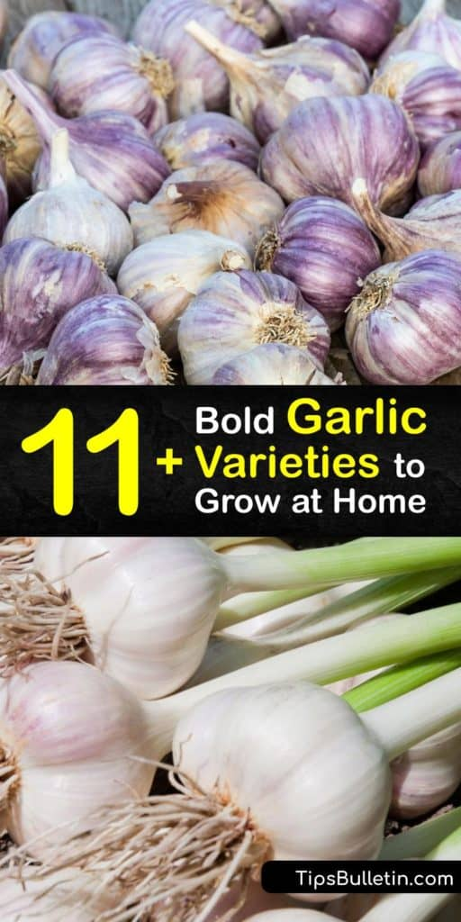 Open your mind to the endless garlic varieties that aren't often found at the grocery store, including Silverskin, Creole, Rocambole, German, and Elephant garlic. Learn all there is to know about Allium sativum and the different flavor profiles you've never experienced. #types #garlic #varieties