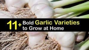 Types of Garlic titleimg1