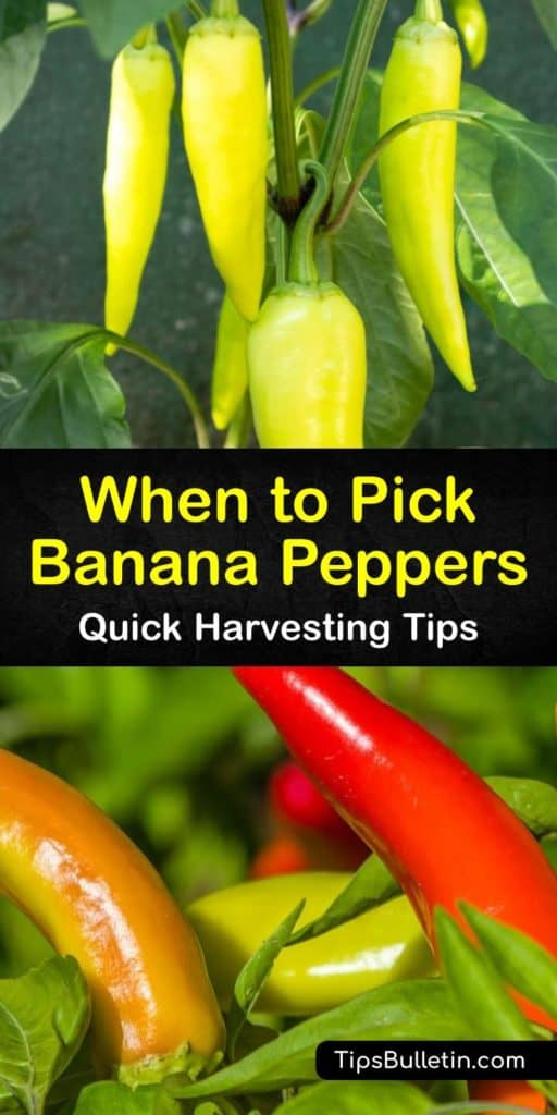 Learn how to harvest from a banana pepper plant in your garden. This growing season, learn how to identify the ripeness of hot banana peppers and other wax peppers. Storing and pickling hot varieties of banana and bell peppers is a great way to use up extra peppers. #ripe #banana #peppers