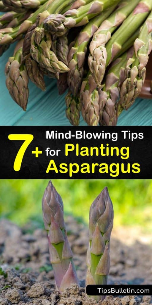 Wake up to a surprise in the early spring with a bounty of Jersey Giant and Jersey Knight asparagus. Use these helpful tips for learning about the growing season, understanding how many inches of soil to dig for female plants, and adding mulch to protect first-year plants. #when #plant #asparagus