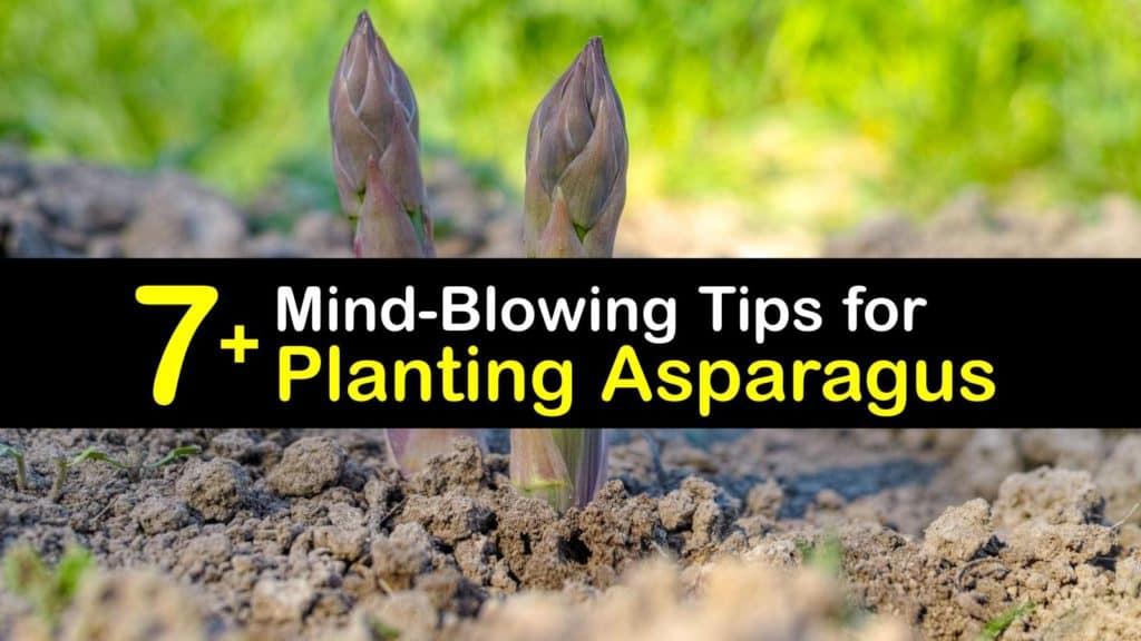 When to Plant Asparagus titleimg1