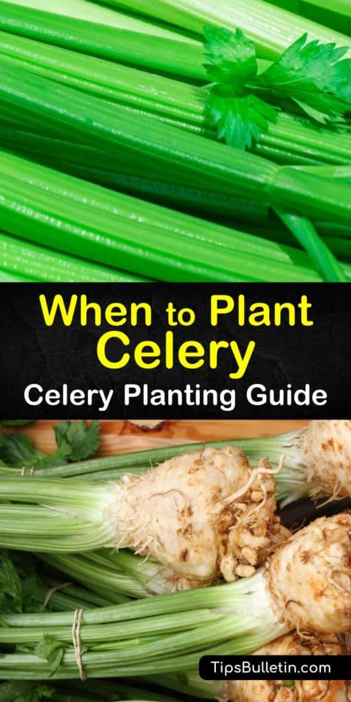 Grow the crispest celery stalks when you use these tips for how to plant celery from celery seeds and transplanting them into the garden. You'll discover the benefits of potting soil, what self-blanching is, and how mulch retains moisture. #when #plant #celery