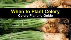 When to Plant Celery titleimg1
