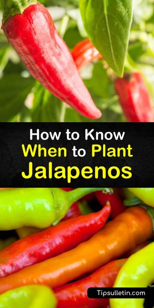 Use this guide for growing jalapenos, bell peppers, cayenne, or even habanero peppers and you'll successfully grow healthy veggies that range in Scoville heat units. Find quick answers to your questions about full sun, mulch, transplanting, and even how to get rid of aphids. #when #plant #jalapenos