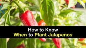 When to Plant Jalapenos titleimg1