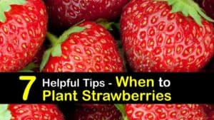 When to Plant Strawberries titleimg1