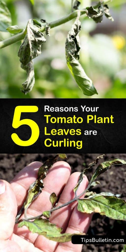 Find out why environmental stress and herbicide damage causes leaf curling and reduces fruit production on your tomato plant. Yellowing leaves are a sign of a physiological leaf roll. Deterring aphids and whiteflies reduces the chance of tomato yellow leaf curl virus. #tomato #leaves #curling