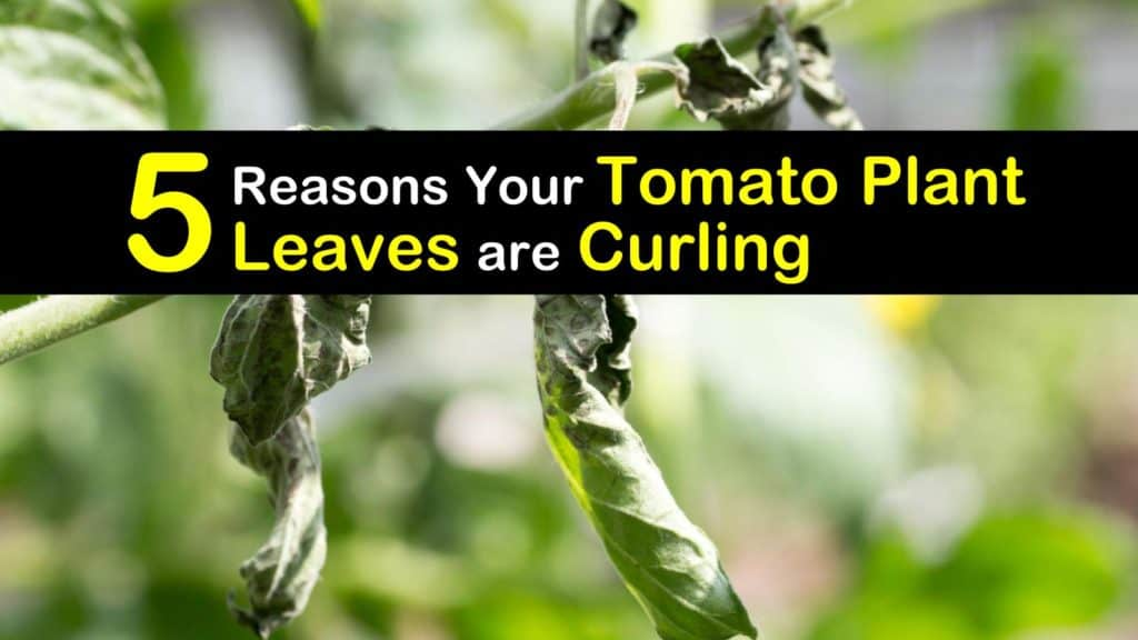 Why are Tomato Plant Leaves Curling titleimg1