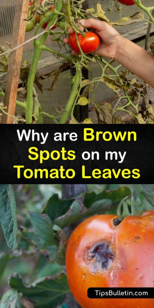 Learn how to spot bacterial and fungal diseases on tomato plants and ways to prevent them in the future. Brown or black spots on lower leaves is a sign of early blight, while septoria leaf spot causes leaves to drop from infected plants. #brown #spots #tomato #plants #leaves