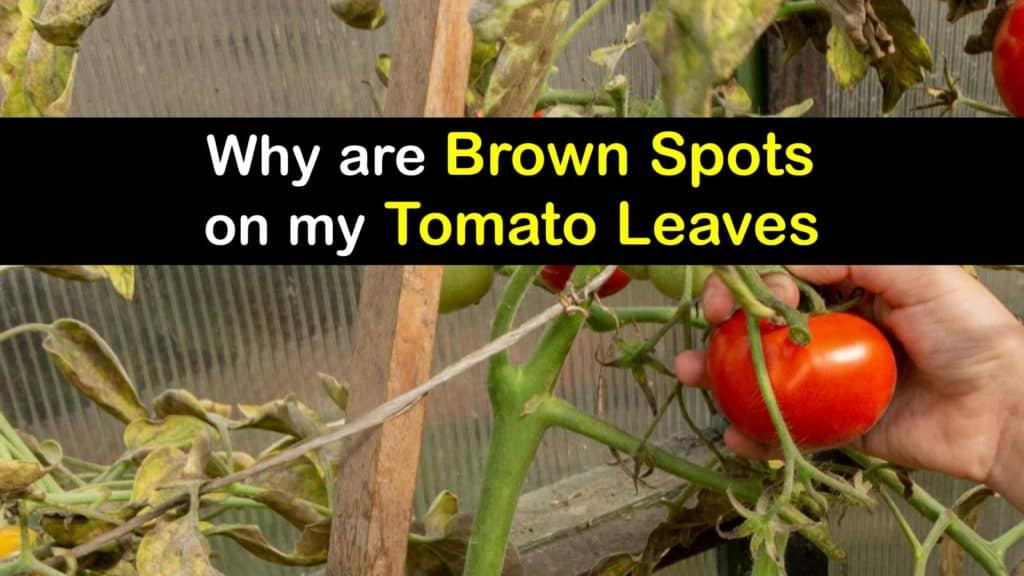 Brown Spots on Tomato Leaves titleimg1