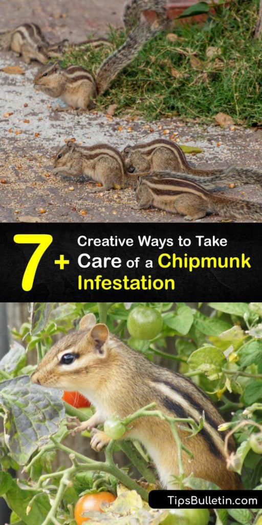 Discover how to get rid of chipmunks and prevent a chipmunk infestation using simple repellents and control methods. Keep these critters out of your birdseed with olive oil and stop them from burrowing with natural repellents. #howto #getridof #chipmunk #infestation