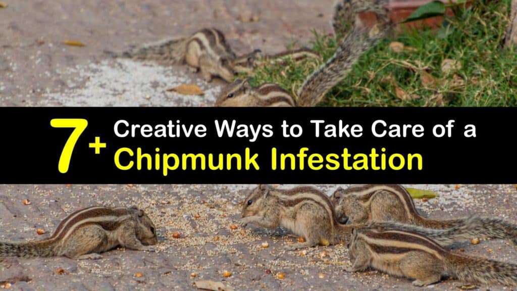 Chipmunk Infestation titleimg1