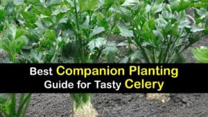 Companion Planting Celery titleimg1