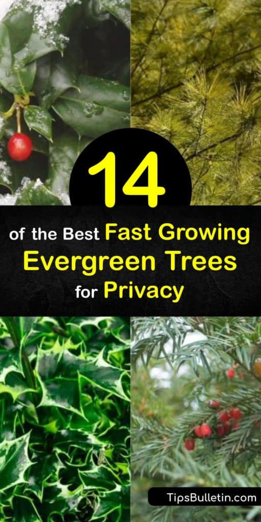 Try these fast growing evergreen trees for privacy ideal for increasing home security. Discover which thuja family tree works best for your home and climate. Learn more about species like Leyland Cypress and Blue Spruce and how these privacy trees work for you. #fastgrowing #evergreen #tree #privacy