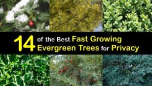 Fast Growing Evergreen Trees for Privacy titleimg1