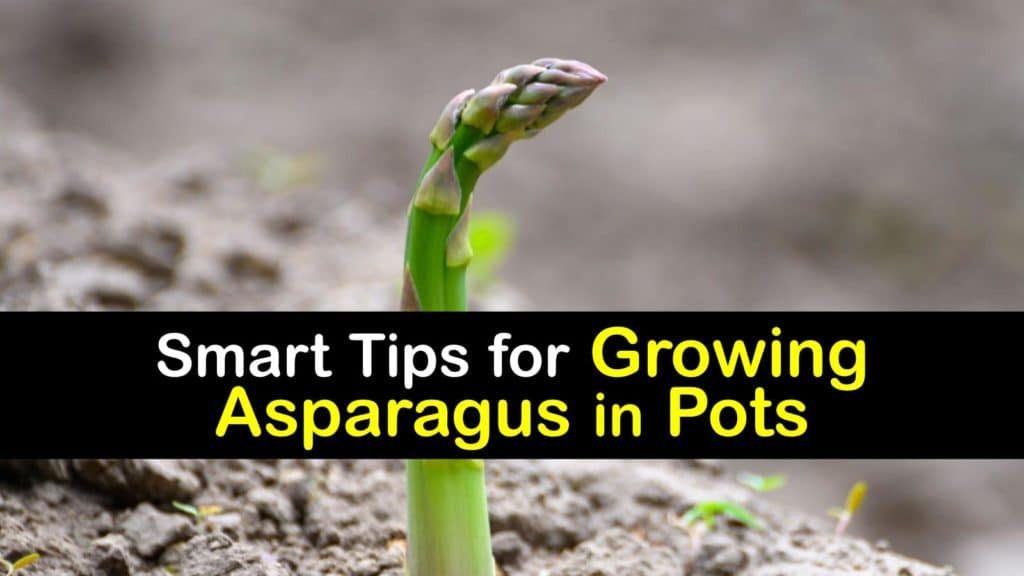 Growing Asparagus in Pots titleimg1