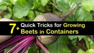 Growing Beets in Containers titleimg1