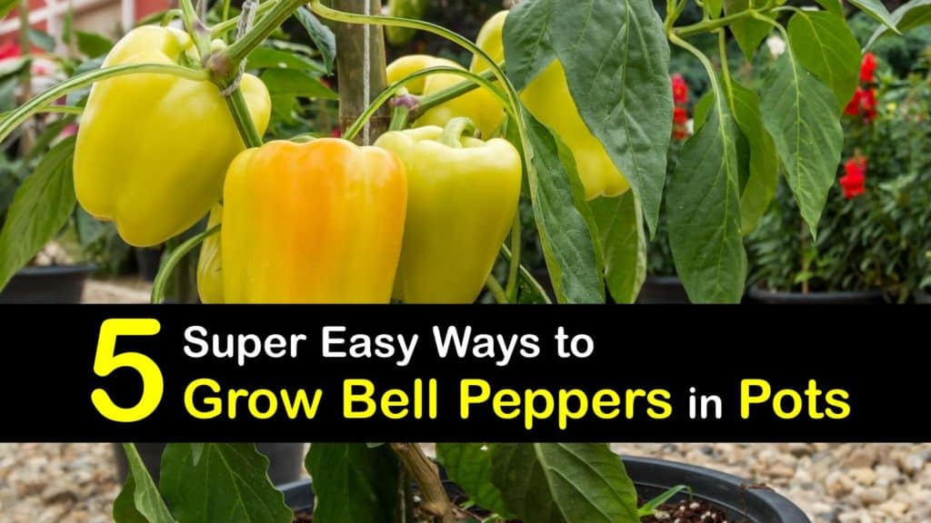Growing Bell Peppers in Pots titleimg1
