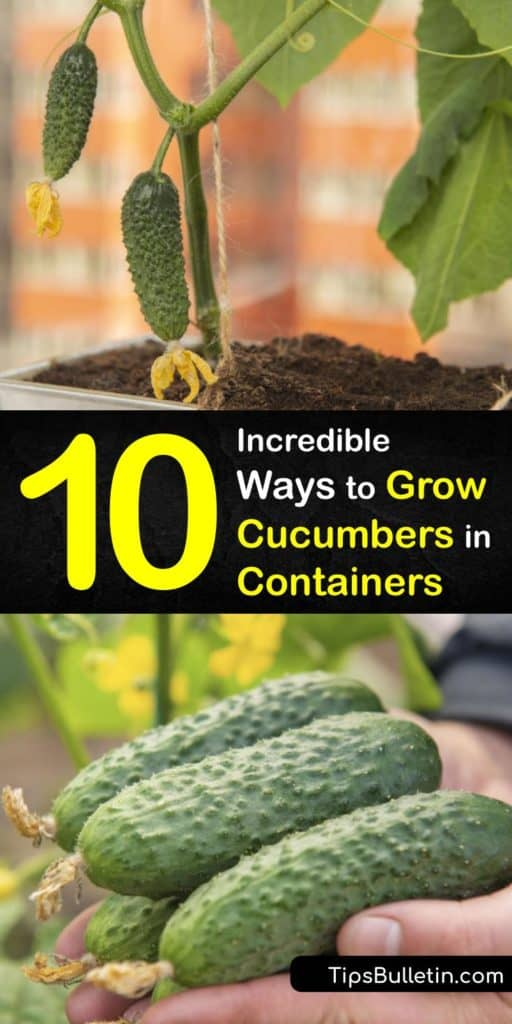 Container gardening with cucumber plants is easy, whether you enjoy them in a salad or for pickling. Some types of bush cucumbers do not need a trellis and are perfect for containers with drainage holes and good potting soil. #cucumber #growing #pots #howto #container