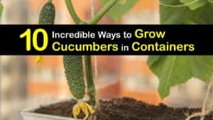 Growing Cucumbers in Containers titleimg1